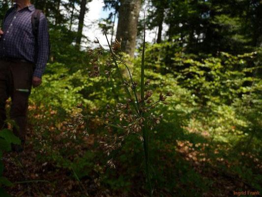 Luzula luzuloides - Weißliche Hainsimse, Schmalblättrige Hainsimse