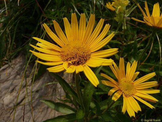 Buphtalmum salicifolium - Weidenblatt-Rindsauge