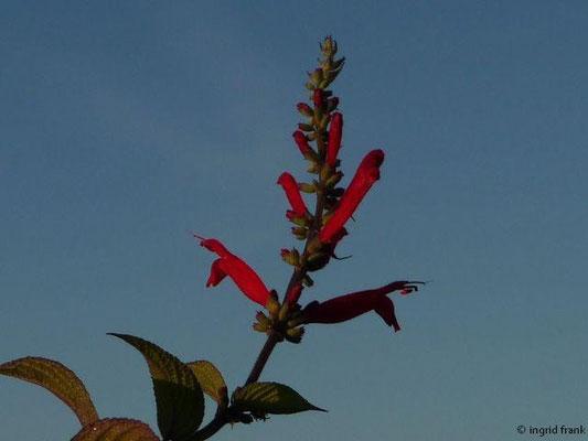 Salvia elegans - Ananans-Salbei