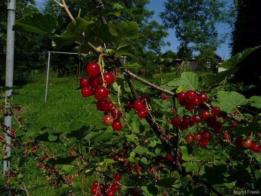 Ribes rubrum - Rote Johannisbeere