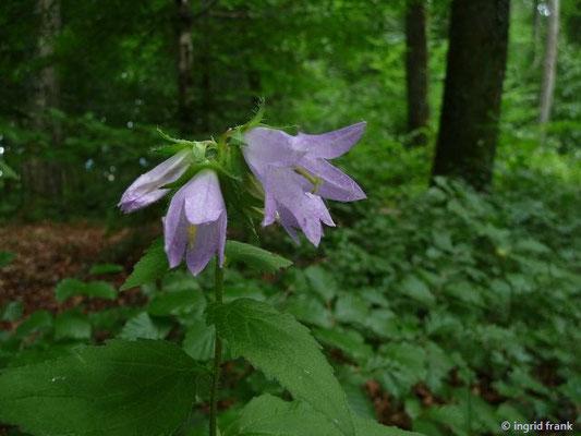 Campanula trachelium - Nesselblättrige Glockenblume    VII-VIII