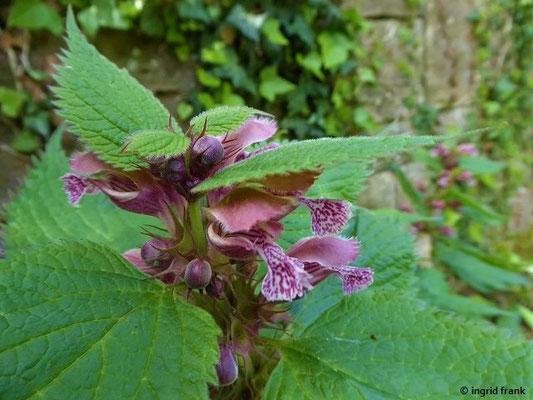 Stachys grandiflora - Großblütiger Ziest; heute: Betonica grandiflora    VI-VIII