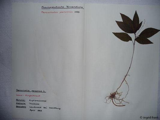 (65) Mercurialis perennis - Wald-Bingelkraut