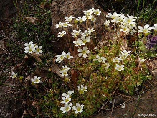 Saxifraga cespitosa - Polster-Steinbrech   V    (Botanischer Garten Berlin)