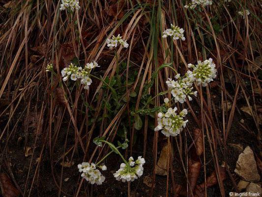 Noccaea montana / Berg-Täschelkraut