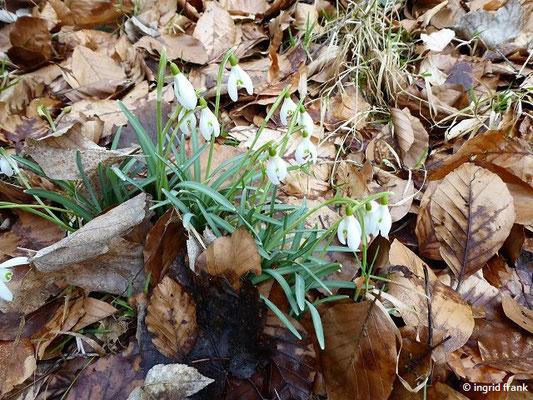 Galanthus nivalis - Kleines Schneeglöckchen