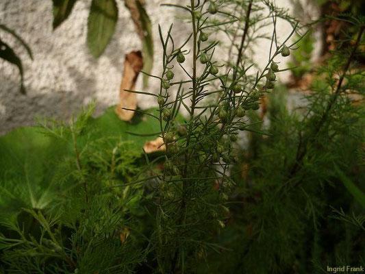 07.09.2011-Artemisia abrotanum - Eberraute, Zitronenkraut