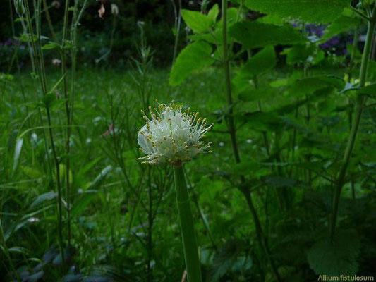 11.06.2010-Allium fistulosum - Winter-Zwiebel
