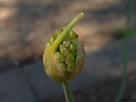Allium suaveolens - Duft-Lauch
