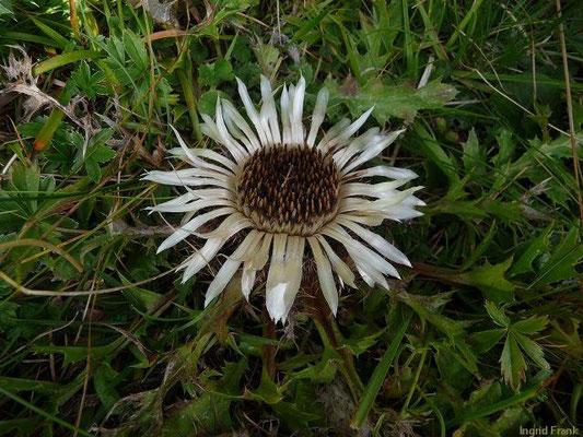 Carlina acaulis ssp. acaulis - Silberdistel, Stängellose Eberwurz