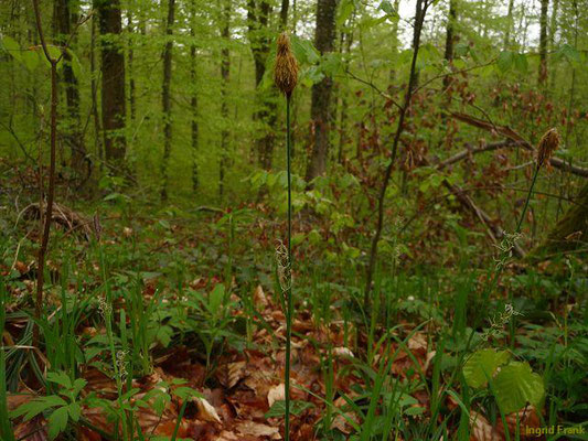 Carex pilosa / Wimper-Segge