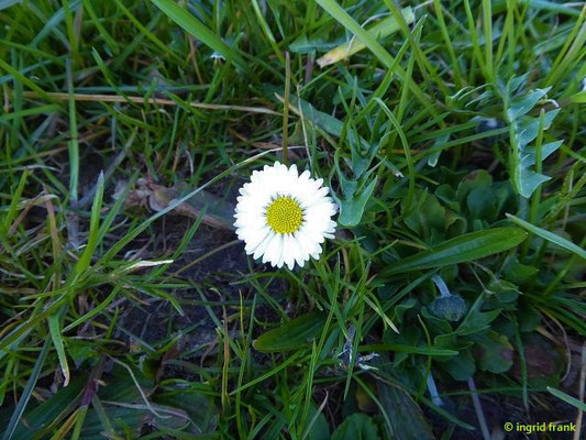 Bellis perennis - Ausdauerndes Gänseblümchen