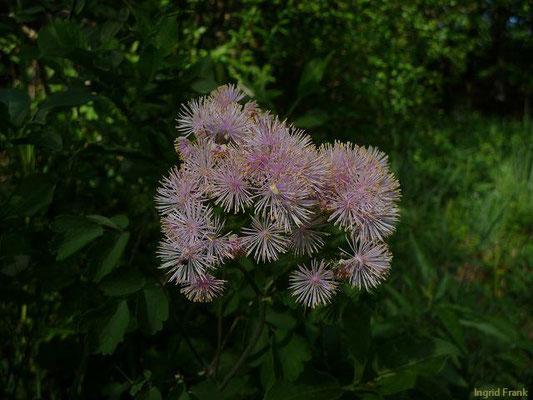 Thalictrum aquilegiifolium / Akeleiblättrige Wiesenraute