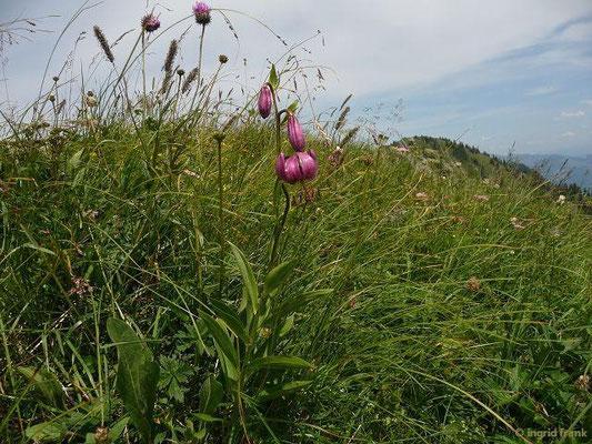 Lilium martagon - Türkenbund-Lilie