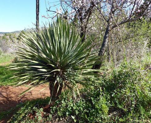 Dracaena draco - Kanarischer Drachenbaum