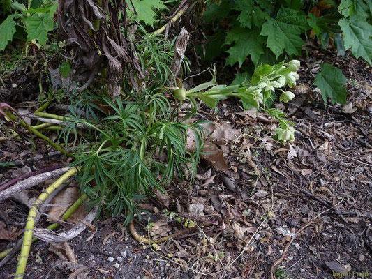 12.05.2011-Helleborus foetidus - Stinkende Nieswurz(im Schlosspark Köpenick)