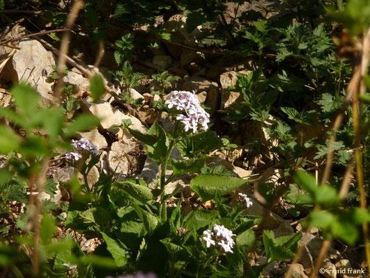 Lunaria redivia -