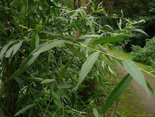 03.07.2012-Salix alba - Silber-Weide