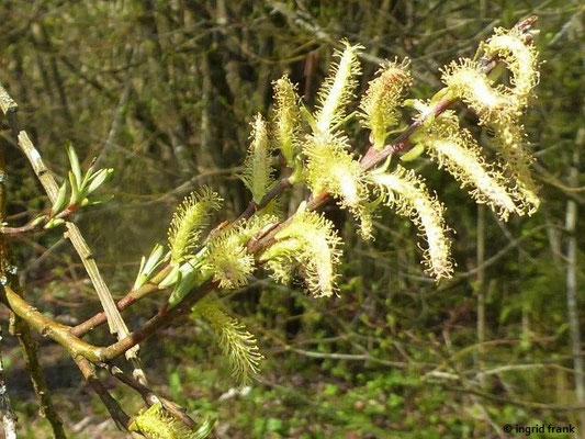 Salix spec. / Weide-Arten