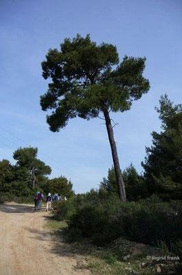 Pinus nigra - Schwarz-Kiefer
