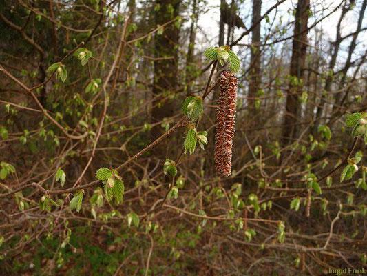 Corylus avellana / Gewöhnliche Hasel