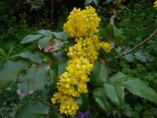 Mahonia aquifolium / Gewöhnliche Mahonie (Neophyt)