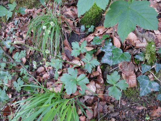 05.06.2018 - Im Auwald an der Argen; die Pflanze ist hier schon am Verblühen, aber man kann die handförmigen Blätter der Rosette gut erkennen.