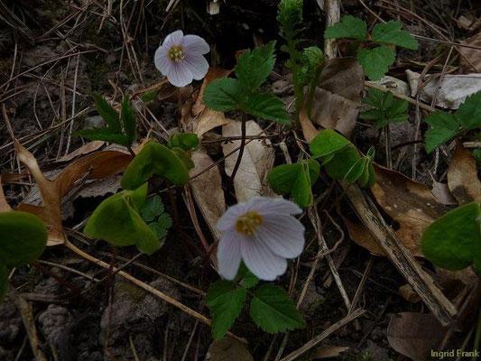 20.04.2010-Oxalis acetosella - Wald-Sauerklee