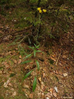 Hieracium laevigatum - Glattes Habichtskraut