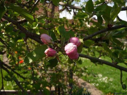 Malus domestica - Kultur-Apfel