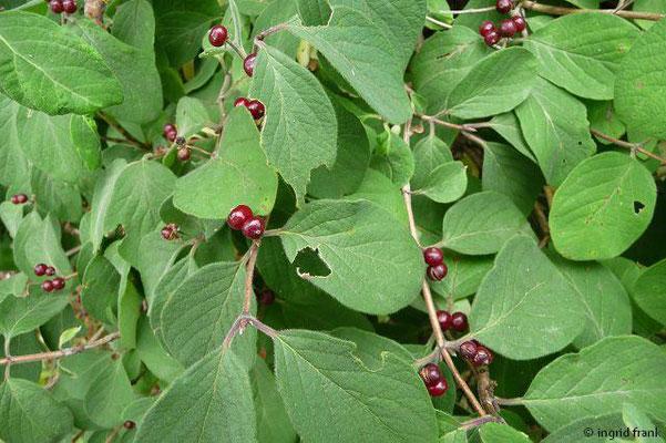 Lonicera xylosteum / Rote Heckenkirsche