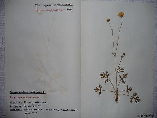 (12) Ranunculus bulbosus - Knolliger Hahnenfuß