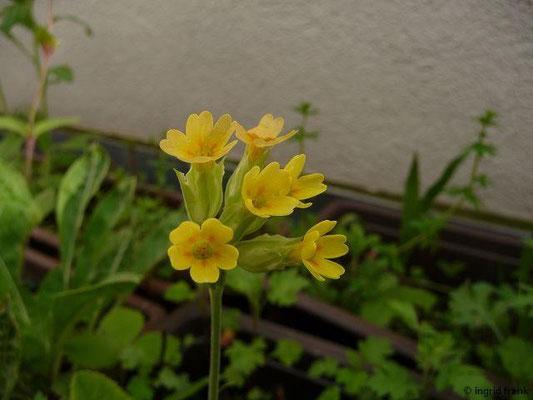 04.05.2015 - Primula veris - Wiesen-Schlüsselblume