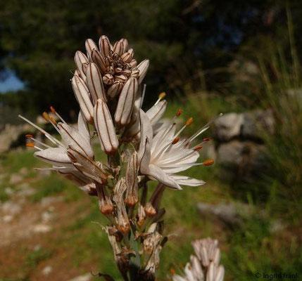 Asphodelus aestivus - Kleinfrüchtiger Affodill (Türkische Ägäis)