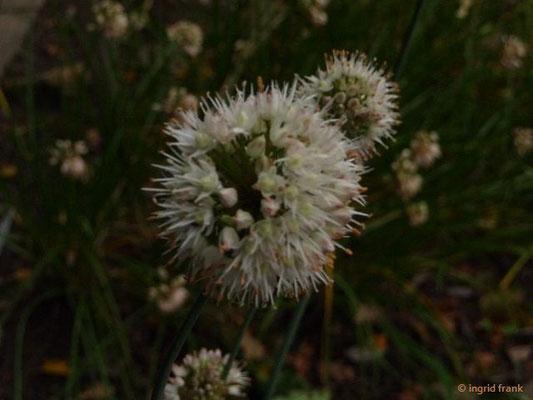 Allium suavolens / Wohlriechender Lauch (Botanischer Garten Universität Heidelberg)