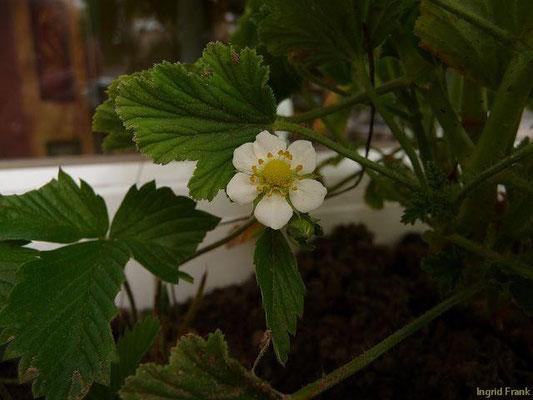 09.06.2013-Fragaria vesca - Wald-Erdbeere