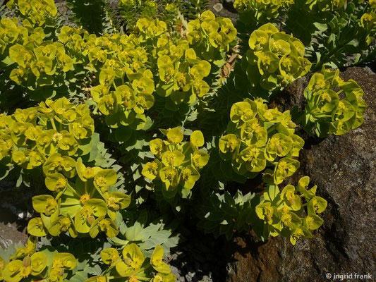 Euphorbia myrsinites - Walzen-Wolfsmilch