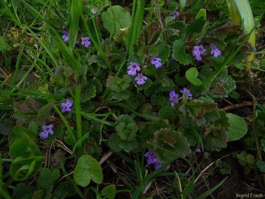 Glechoma hederacea ssp. hederacea / Gewöhnlicher Gundermann, Gundelrebe