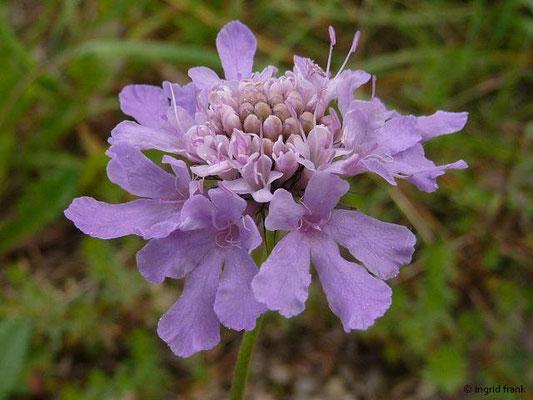 Scabiosa columbaria - Tauben-Skabiose    VII-XI