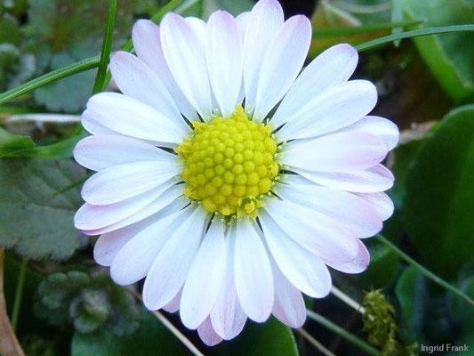 Bellis perennis - Gänseblümchen