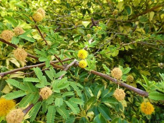 Acacia farnesiana - Duftende Akazie