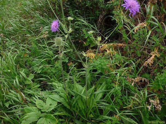 Knautia longifolia - Langblättrige Witwenblume