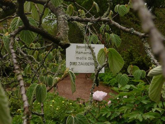 Hamamelis mollis