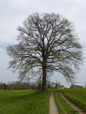 Quercus robur - Stiel-Eiche (Naturdenkmal)