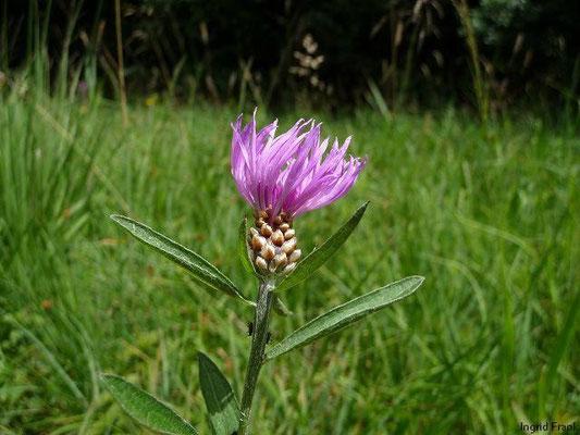 03.07.2011-Centaurea jacea - Gewöhnliche Flockenblume