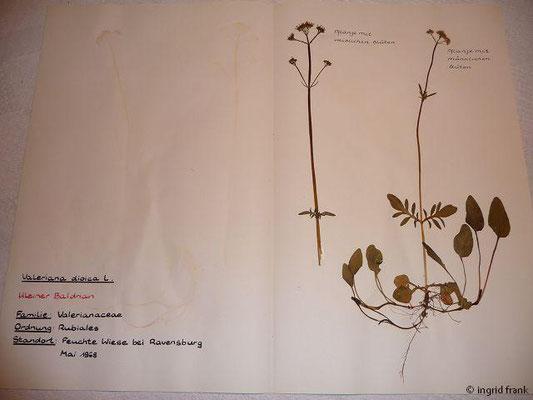(118) Valeriana dioica - Kleiner Baldrian