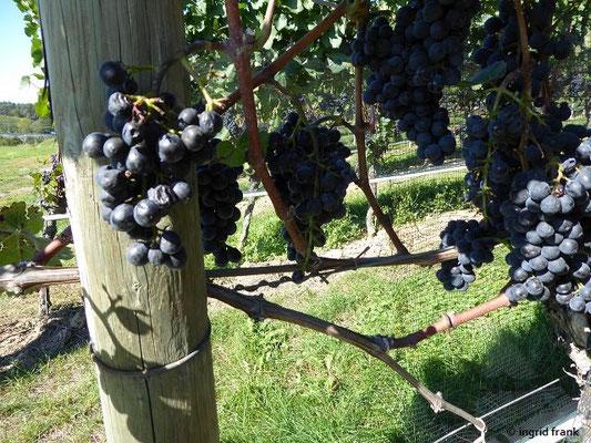 Vitis vinifera ssp. vinifera - Echte Weinrebe (hier Burgundertraube)