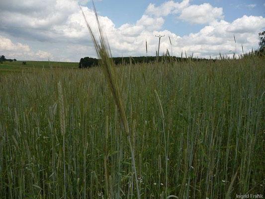 Secale cereale - Saat-Roggen