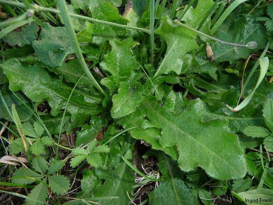 Hypochaeris radicata / Gewöhnliches Ferkelkraut