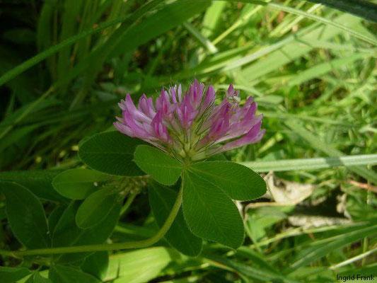 Trifolium medium - Zickzack-Klee